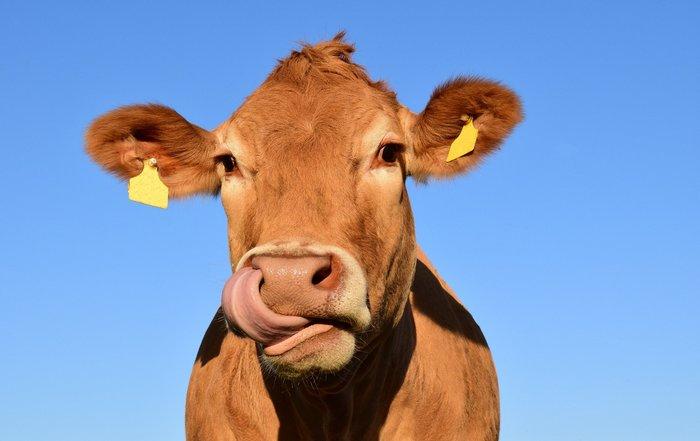 Britisk forskningssenter tester ut 5G-halsbånd på kyr